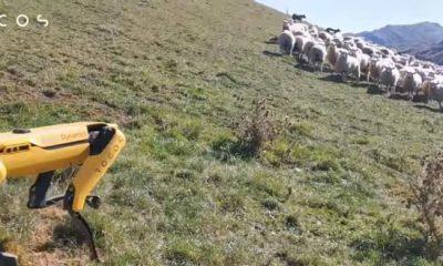 Spot robot dog pronto podría estar cuidando granjas y pastoreando ovejas