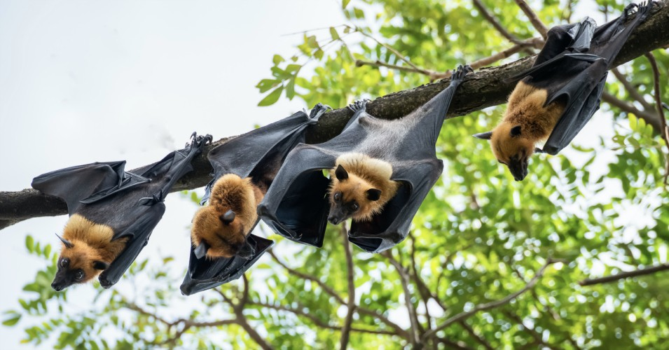 Flying foxes or fruit bats (Pteropus sp.)