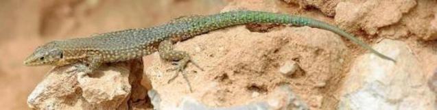The Balearic Lizard.