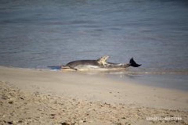 Dolphin stranded in Colònia de Sant Jordi.